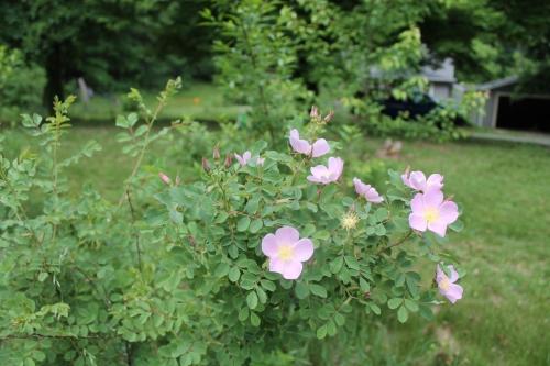 myyardrosestreesflowersetcmay 031