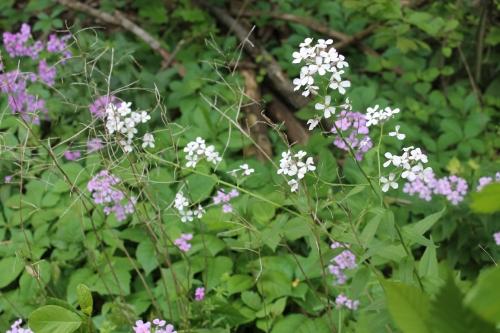 myyardrosestreesflowersetcmay 063