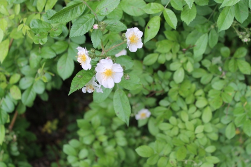 myyardrosestreesflowersetcmay 080