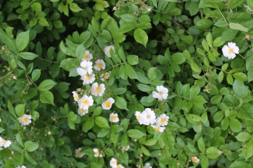 myyardrosestreesflowersetcmay 081