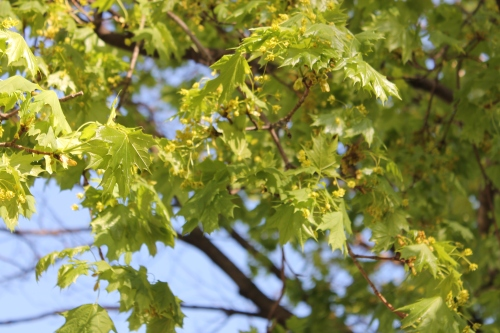 norway maple?