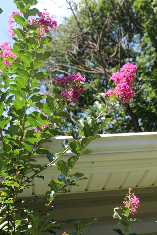 morecrepemyrtlesfloweretc 004