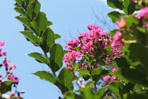 morecrepemyrtlesfloweretc 006