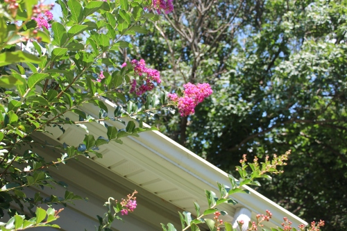 morecrepemyrtlesfloweretc 010