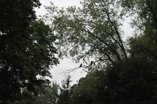 turkeyvulturesplantszoom 030